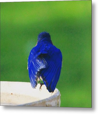 Eastern Bluebird. #birds #birding Metal Print