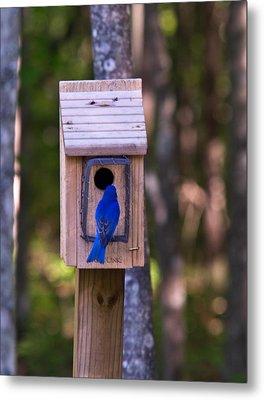 Eastern Bluebird Entering Home Metal Print by Douglas Barnett