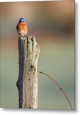 Metal Print featuring the photograph Eastern Bluebird Portrait by Bill Wakeley