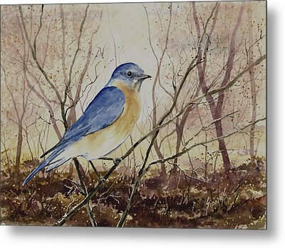 Eastern Bluebird Metal Print by Sam Sidders