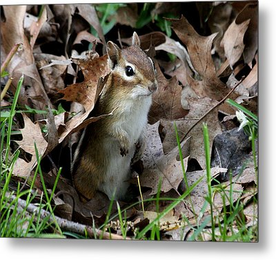 Eastern Chipmunk Metal Print