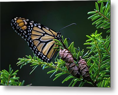 Metal Print featuring the photograph Eastern Monarch by Juergen Roth