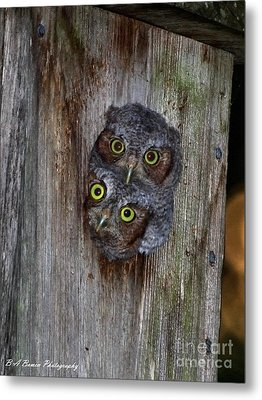 Eastern Screech Owl Chicks Metal Print by Barbara Bowen