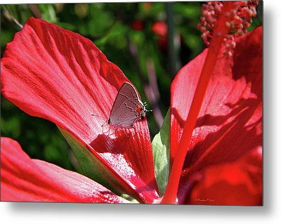 Eastern Tailed Blue Butterfly On Red Flower Metal Print by Inspirational Photo Creations Audrey Woods