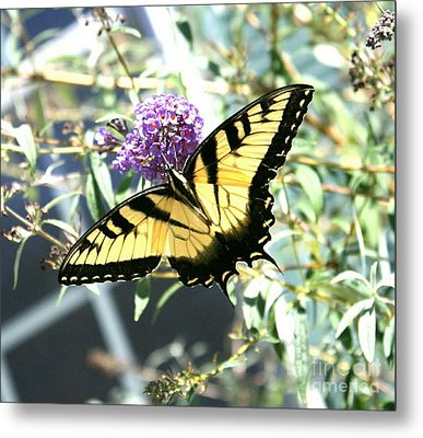 Eastern Tiger Swallowtail Butterfly Metal Print by Scott D Van Osdol
