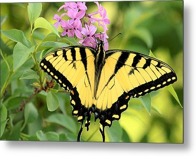 Eastern Tiger Swallowtail Butterfly Metal Print by Sheila Brown