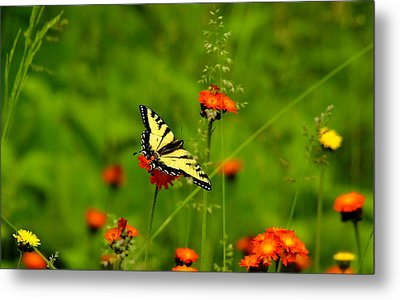 Eastern Tiger Swallowtail  Metal Print by Debbie Oppermann