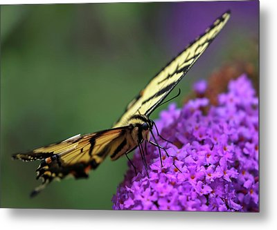 Metal Print featuring the photograph Eastern Tiger Swallowtail by Juergen Roth