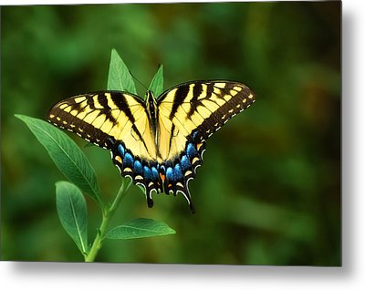 Eastern Tiger Swallowtail Metal Print by Rich Leighton