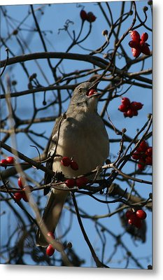 Metal Print featuring the photograph Eating Berries by Cathy Harper