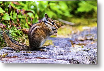 Metal Print featuring the photograph Eating Chipmunk by Jonny D