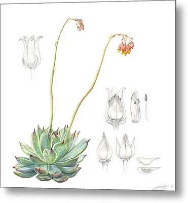 Echeveria Spp. Metal Print by Logan Parsons