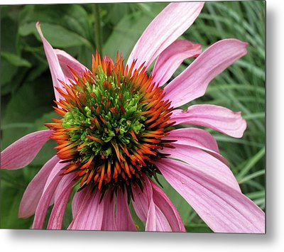 Echinacea Close  Metal Print