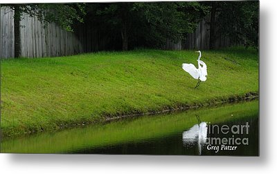 Egret Dance Metal Print by Greg Patzer
