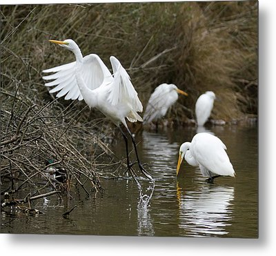Metal Print featuring the photograph Egret Exit by George Randy Bass