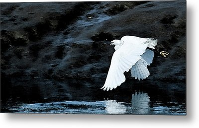 Egret In Flight Metal Print by Brian Roscorla