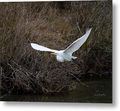 Metal Print featuring the photograph Egret In Flight by George Randy Bass