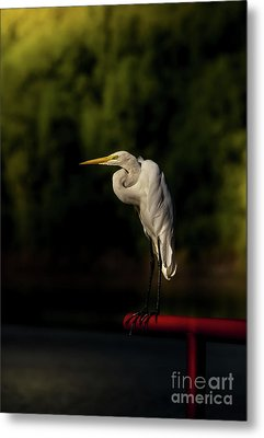 Metal Print featuring the photograph Egret On Deck Rail by Robert Frederick