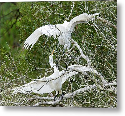 Metal Print featuring the photograph Egret Rumble by George Randy Bass