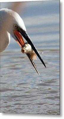 Egret With Fish Metal Print by Bob Kemp