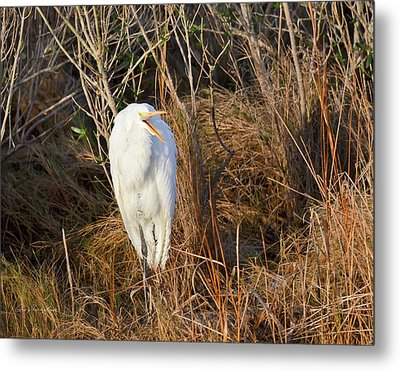 Metal Print featuring the photograph Egret With Something To Say by George Randy Bass