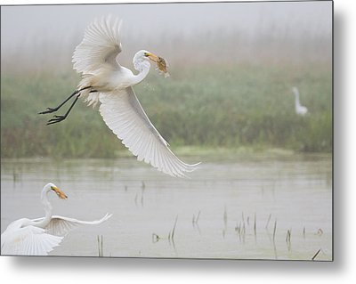 Egrets Fish Metal Print