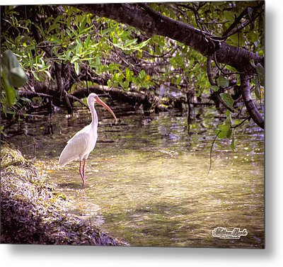 White Ibis Mexico Metal Print by William Havle
