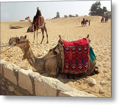 Egypt - Camel Getting Ready For The Ride Metal Print by Munir Alawi