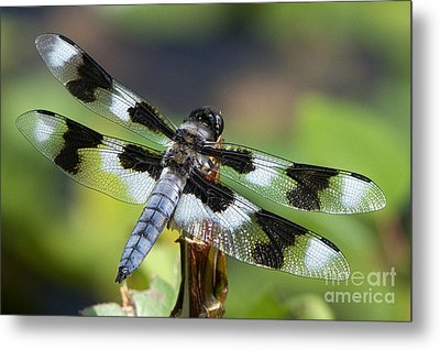 Eight-spotted Skimmer  Metal Print by Sharon Talson
