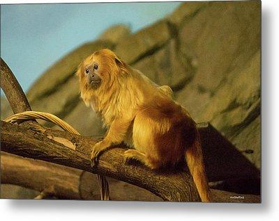 El Paso Zoo - Golden Lion Tamarin Metal Print by Allen Sheffield