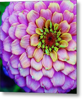 Electrifying Zinna Metal Print by Bruce Bley