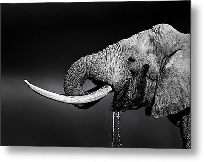 Elephant Bull Drinking Water Metal Print by Johan Swanepoel