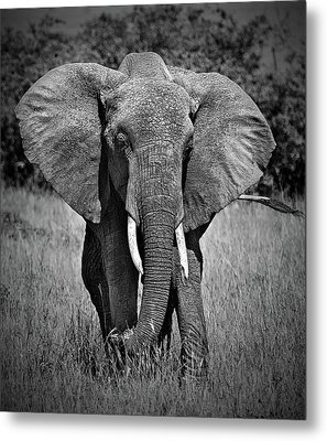Metal Print featuring the photograph Elephant In Amboseli by Antonio Jorge Nunes