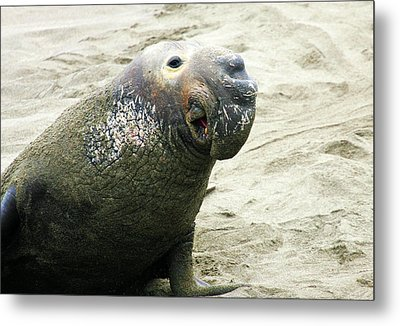 Metal Print featuring the photograph Elephant Seal by Anthony Jones