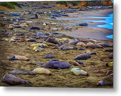 Elephant Seal Coloney Metal Print by Garry Gay