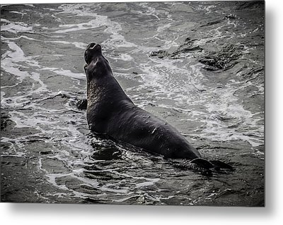 Elephant Seal In Surf Metal Print by Garry Gay