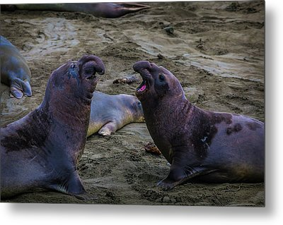 Elephant Seals Challenging Each Other Metal Print by Garry Gay