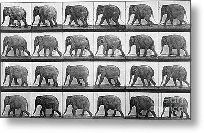 Elephant Walking Metal Print by Eadweard Muybridge