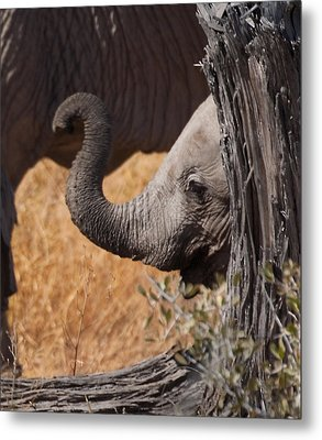 Elephants - Shy Baby Metal Print by Nancy D Hall