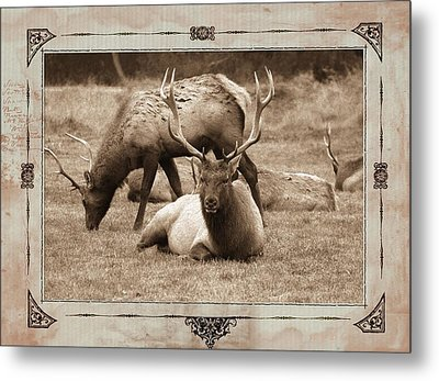 Metal Print featuring the photograph Elk by Athala Carole Bruckner