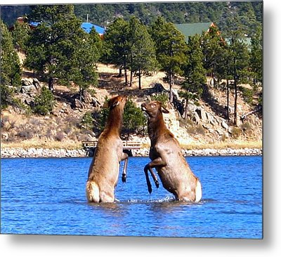 Elk In Lake Estes Metal Print by Perspective Imagery