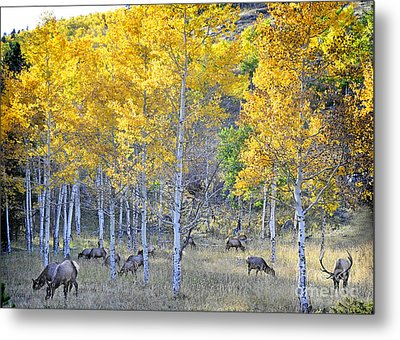 Elk In Rmnp Colorado Metal Print