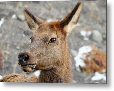 Elk In Yellowstone Metal Print by Pierre Leclerc Photography