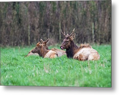 Metal Print featuring the photograph Elk Relaxing by Paul Freidlund