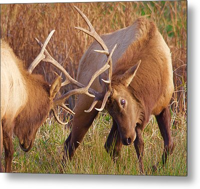 Metal Print featuring the photograph Elk Tussle by Todd Kreuter