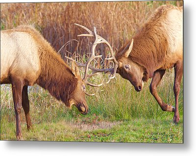 Metal Print featuring the photograph Elk Tussle Too by Todd Kreuter
