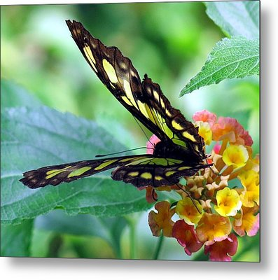 Elusive Butterfly Metal Print by Betty Buller Whitehead
