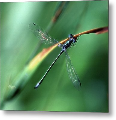 Emerald Spreadwing Metal Print by Bill Morgenstern