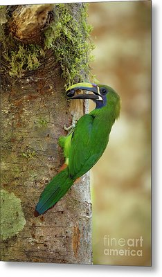 Emerald Toucanet And Wild Fruit Metal Print by Juan Carlos Vindas