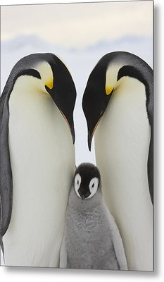 Emperor Penguins With Young Chick Metal Print by Sue Flood